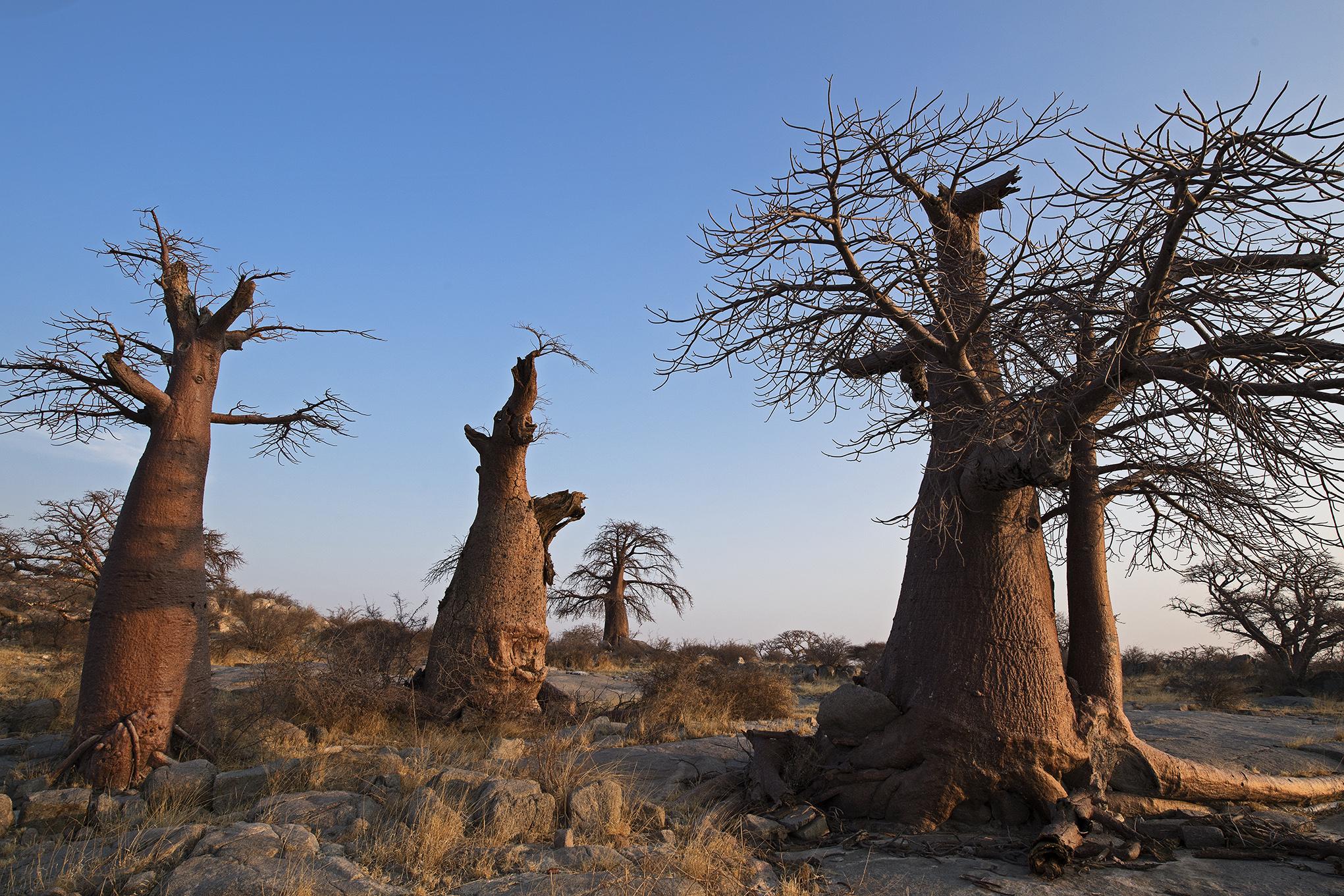 Baobabwald auf Kubu Island, Botswana